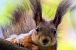 Белка, Sciurus vulgaris, Red squirrel (Eurasian)