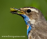 Варакушка, Bluethroat (Luscinia svecica).