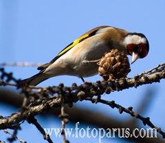 Щегол обыкновенный, Goldfinch