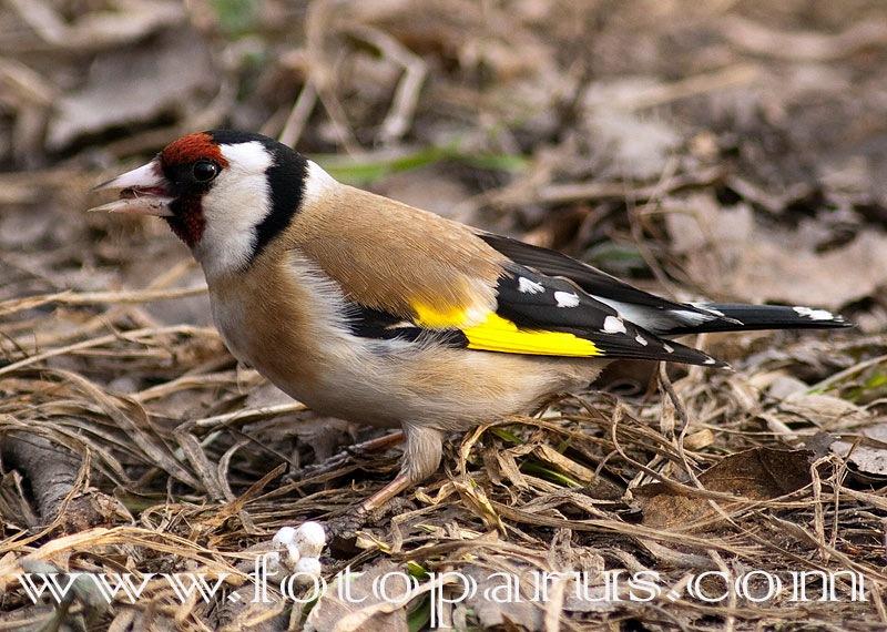 Щегол черноголовый, Carduelis carduelis, Goldfinch