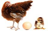 Курица, цыпленок и яйцо. Chicken hen, chick and egg.