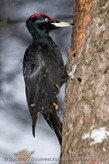 bird_male_Dryocopus_martius200701281511