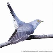 Кукушка обыкновенная, Cuculus canorus, Common Cuckoo.