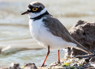 Зуёк малый. Little Ringed Plover (Charadrius dubius)