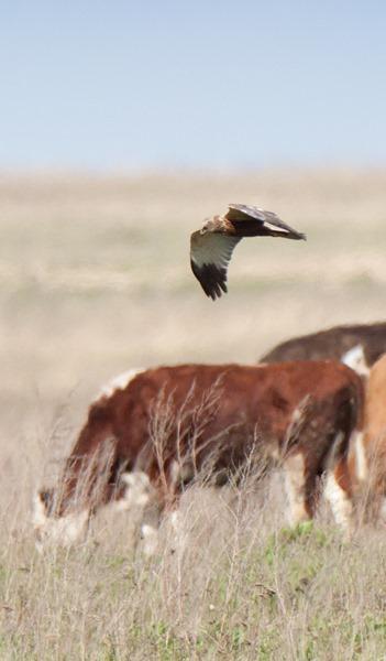 Лунь болотный. Western Marsh Harrier (Circus aeruginosus)