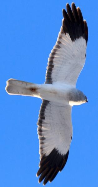 Лунь полевой. Hen Harrier (Circus cyaneus).
