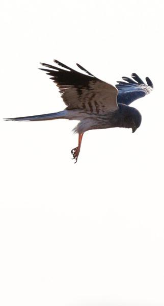 Лунь луговой. Montagu's Harrier (Circus pygargus).