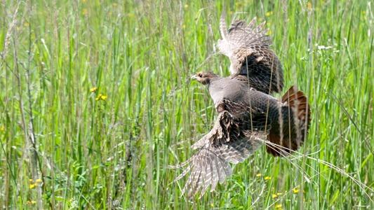 Куропатка серая. Partridge (Perdix perdix)