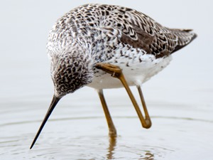Поручейник. Marsh Sandpiper (Tringa stagnatilis).Wild bird in a natural habitat.