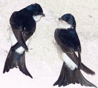 Ласточка городская. House Martin (Delichon urbica).Wild bird in a natural habitat.