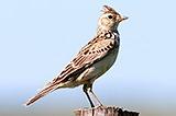 Жаворонок полевой. Skylark (Alauda arvensis).