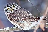 Сыч воробьиный. Pygmy Owl (Glaucidium passerinum).