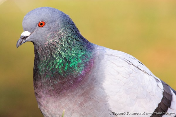 Голубь сизый, Columba livia, Rock Dove.