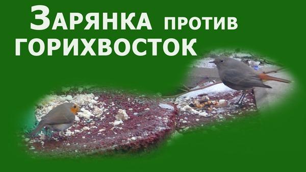 Зарянка против Горихвосток