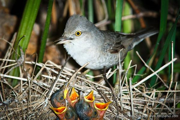 Славка ястребиная, Sylvia nisoria, Barred Warbler.