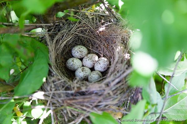 Гнездо. Сорокопут-жулан, Lanius collurio. The nest of the Common Shrike in nature.