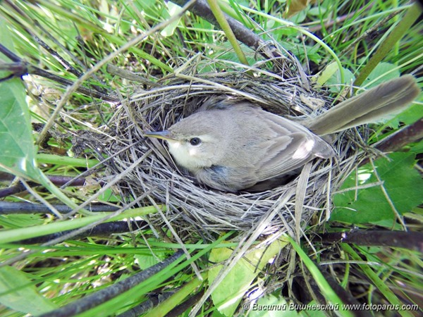 Гнездо. Бормотушка северная, Hippolais calligata. The nest of the Booted Warbler in nature.