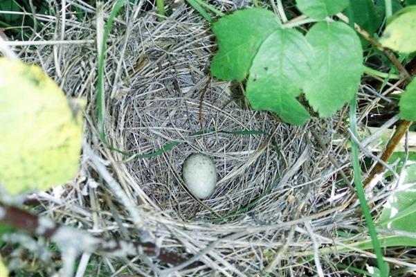 Славка ястребиная у гнезда. Barred Warbler (Sylvia nisoria).