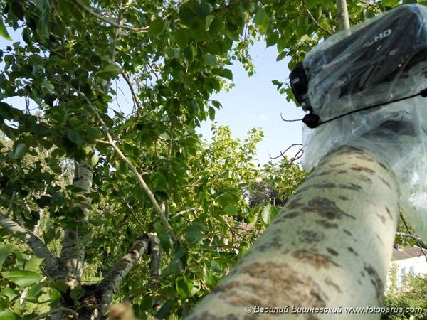 Сорокопут чернолобый. Lesser Grey Shrike (Lanius minor).
