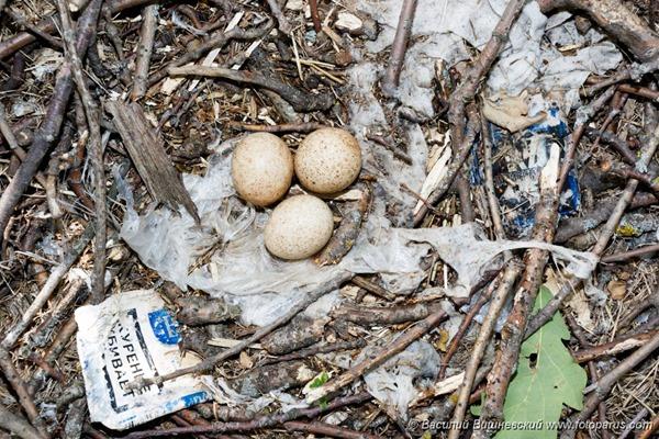 Гнездо. Чеглок, Falco subbuteo. The nest of the Northern Hobby in nature.