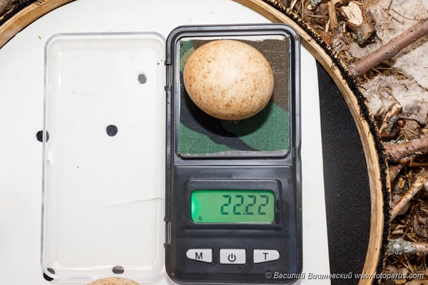Птичьи яйца: Чеглок, Falco subbuteo. The eggs of the Northern Hobby in front of white background, isolated.