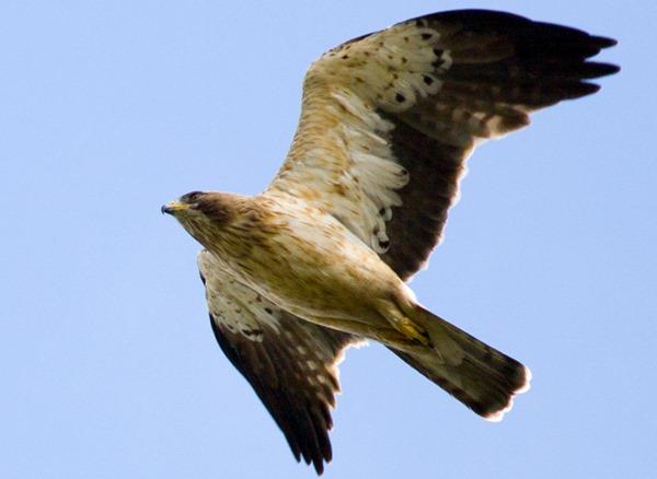 Орел-карлик. Booted Eagle (Hieraaetus pennatus, Aquila pennata).