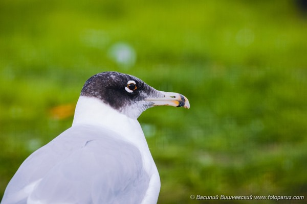 Хохотун черноголовый. Great Black-headed Gull (Larus ichthyaetus).