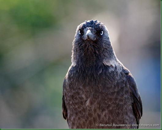 Галка. Jackdaw (Corvus monedula).