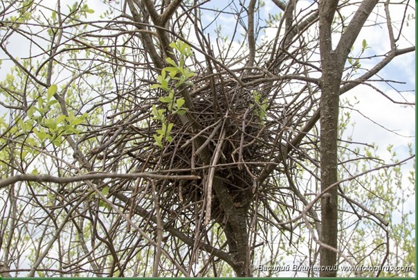 Гнездо. Сорока, Pica pica. The nest of the Magpie in nature.