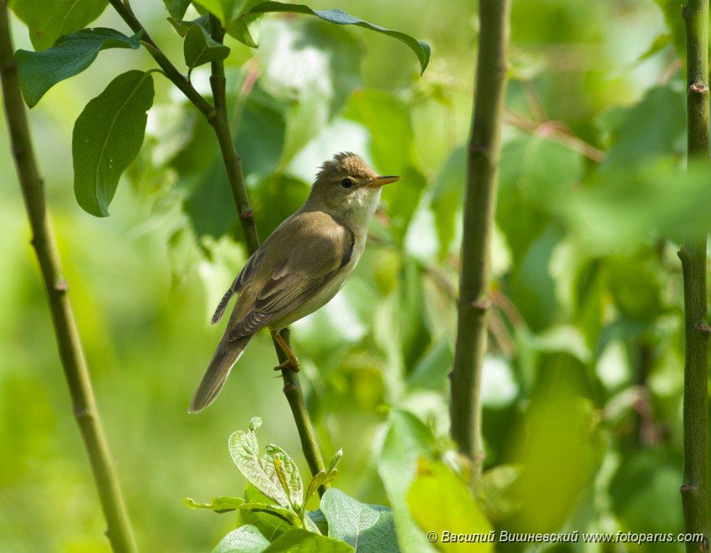 bird_apart_Acrocephalus_palustris200805281225