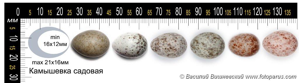 collection_eggs_Acrocephalus_dumetorum201009271444-1