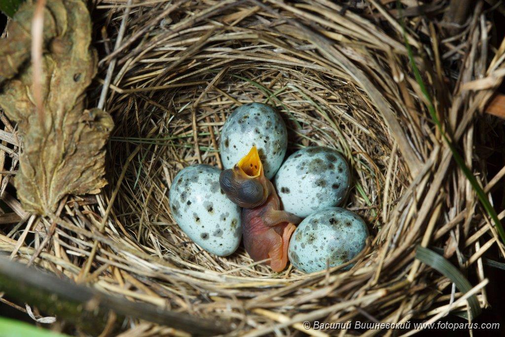 eggs_nature_Acrocephalus_palustris201006151520