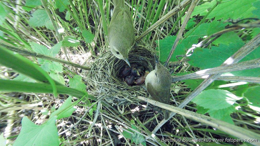 nest150605-15_Acrocephalus_dumetorum_2015_0623_0840-5