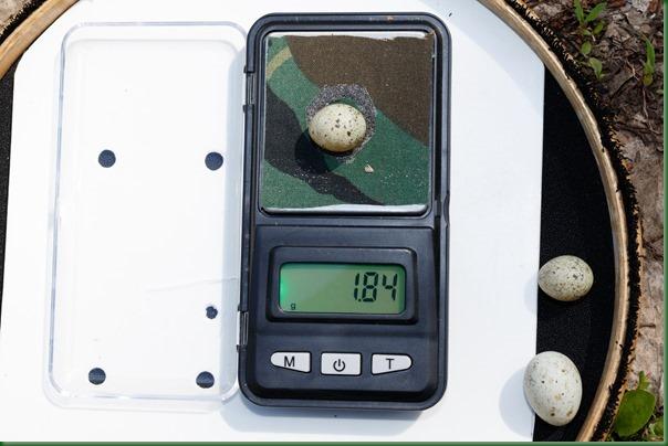 Птичьи яйца: Славка серая, Sylvia communis. The eggs of the Whitethroat in front of white background, isolated. Кукушка обыкновенная. Common Cuckoo (Cuculus canorus).