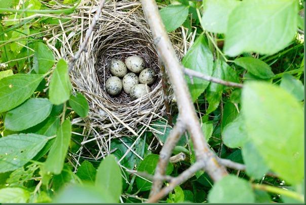 Гнездо. Славка серая, Sylvia communis. The nest of the Whitethroat in nature.