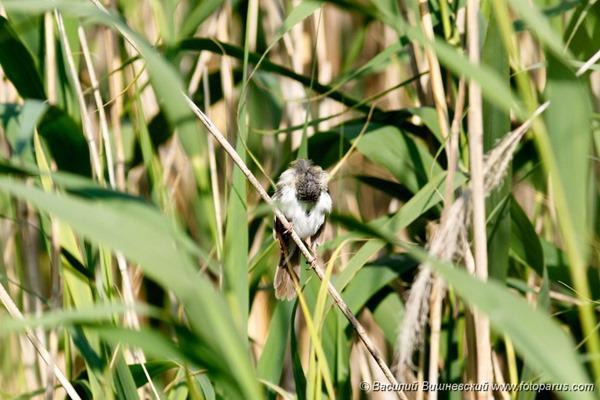 Камышовка индийская. Paddyfield Warbler (Acrocephalus agricola).