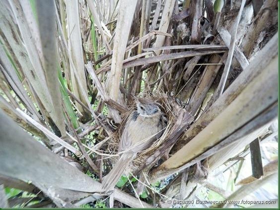 Гнездо. Камышовка индийская, Acrocephalus agricola. The nest of the Paddyfield Warbler in nature.