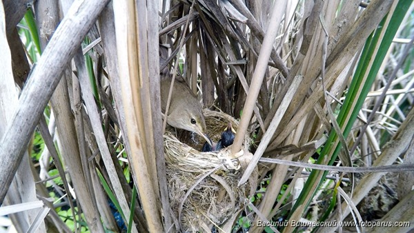 Гнездо. Камышовка тростниковая, Acrocephalus scirpaceus. The nest of the Reed Warbler in nature.