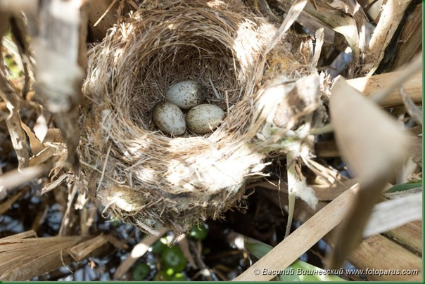 Гнездо. Камышовка индийская, Acrocephalus agricola. The nest of the Paddyfield Warbler in nature.