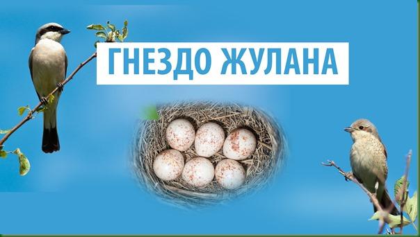 Жизнь Жулана 1.2 Гнездо жулана
