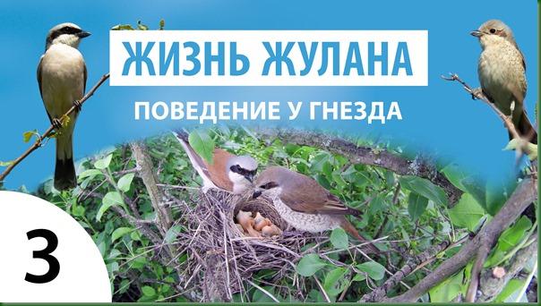 Жизнь Жулана 1.3 Поведение у гнезда 2