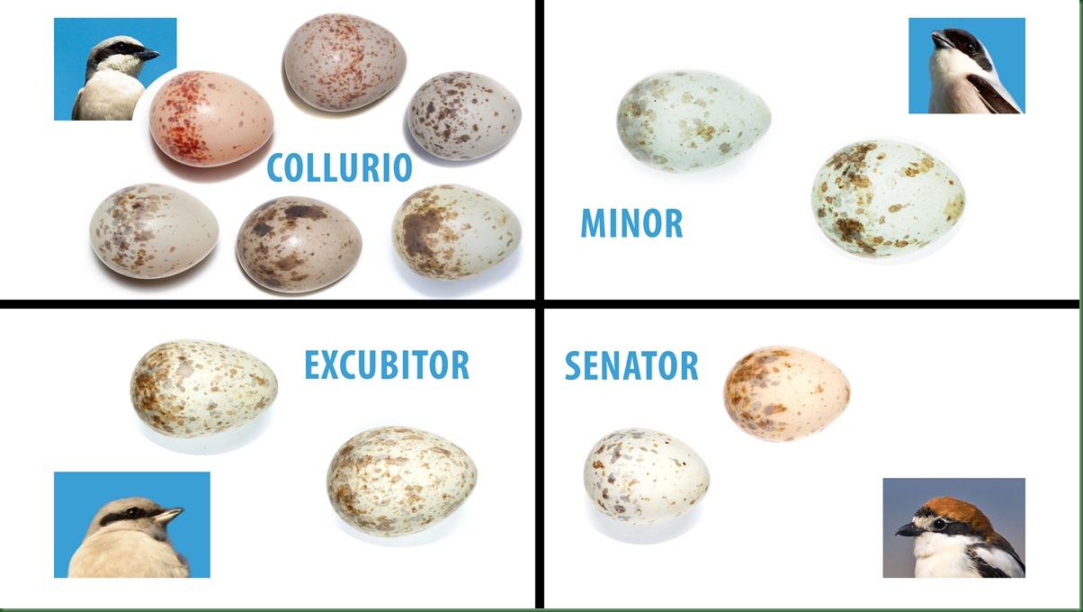 Яйца сорокопутов