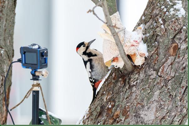 Syrian Woodpecker (Dendrocopos syriacus).