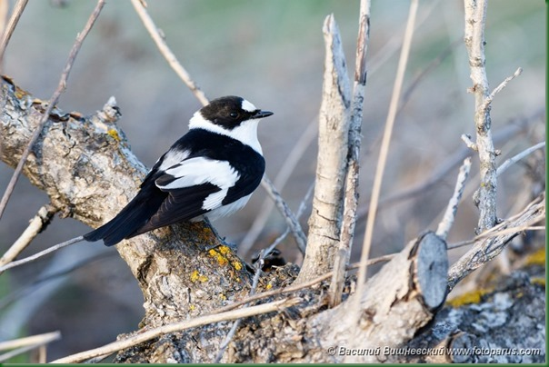 Мухоловка-белошейка. Collared Flycatcher (Ficedula albicollis).