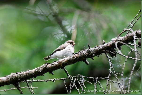 Мухоловка-пеструшка. Pied Flycatcher (Ficedula hypoleuca).