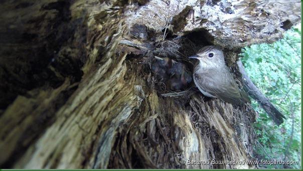 Мухоловка серая. Spotted Flycatcher (Muscicapa striata).
