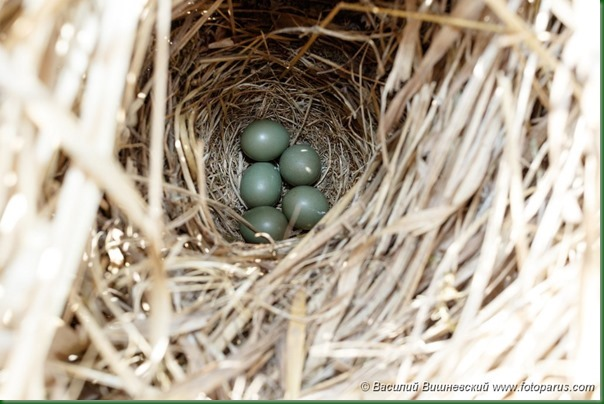 Гнездо. Варакушка, Luscinia svecica. The nest of the Bluethroat in nature.