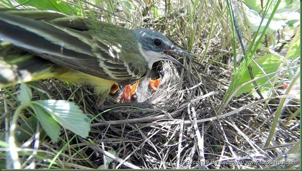 Гнездо. Трясогузка желтая, Motacilla flava. The nest of the Yellow Wagtail in nature.