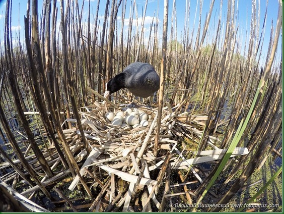 Гнездо. Лысуха, Fulica atra. The nest of the Common Coot in nature.