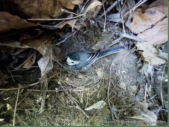 Гнездо. Трясогузка белая, Motacilla alba. The nest of the White Wagtail in nature.
